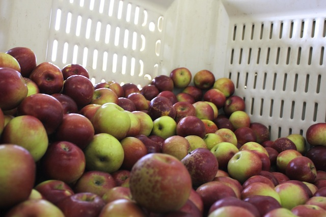 Barber Orchard Apples in the Bin