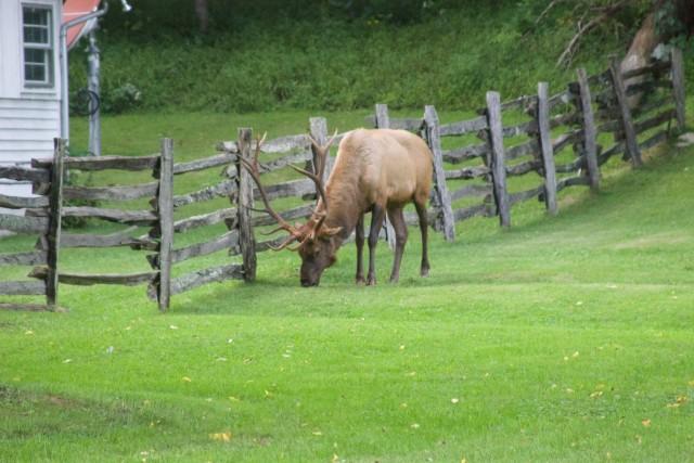 Bull Elk Cataloochee Valley
