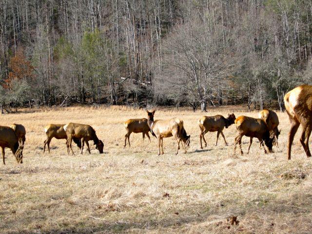 Elk Grazing Cataloochee Valley
