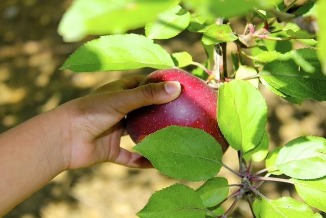 Barber Orchard Picking Apples