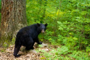 Black Bear Escape