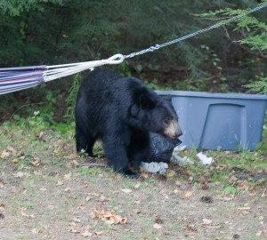 Black Bear Garbage