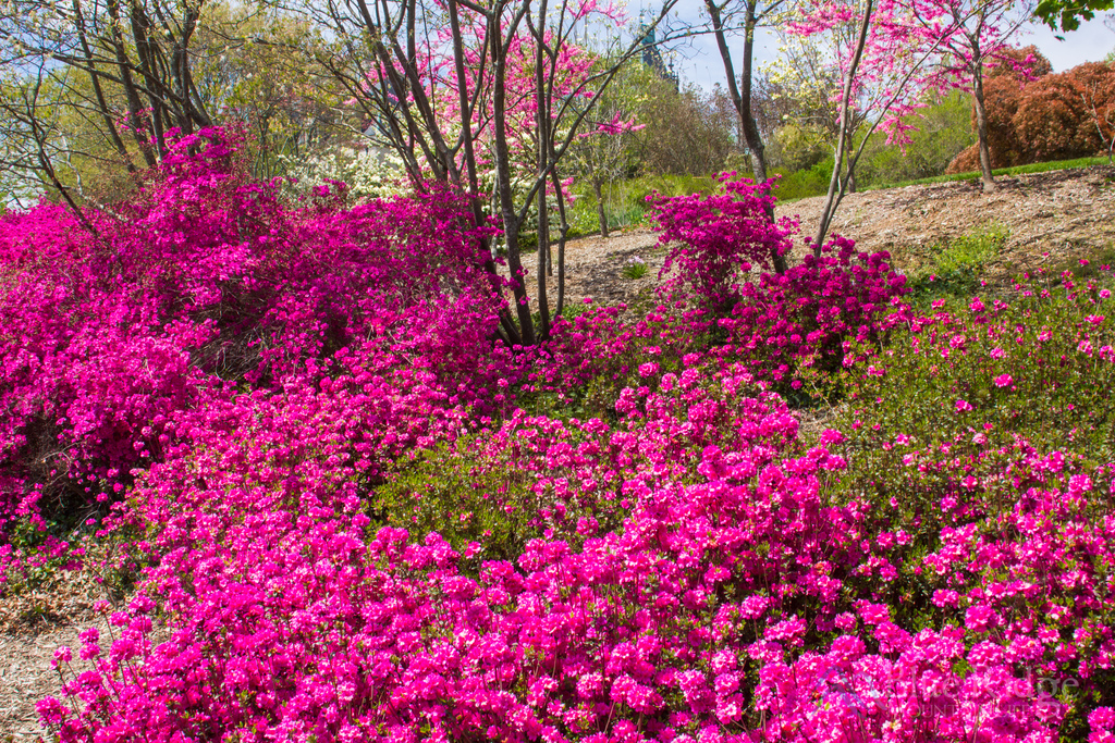 Biltmore Gardens Azaleas