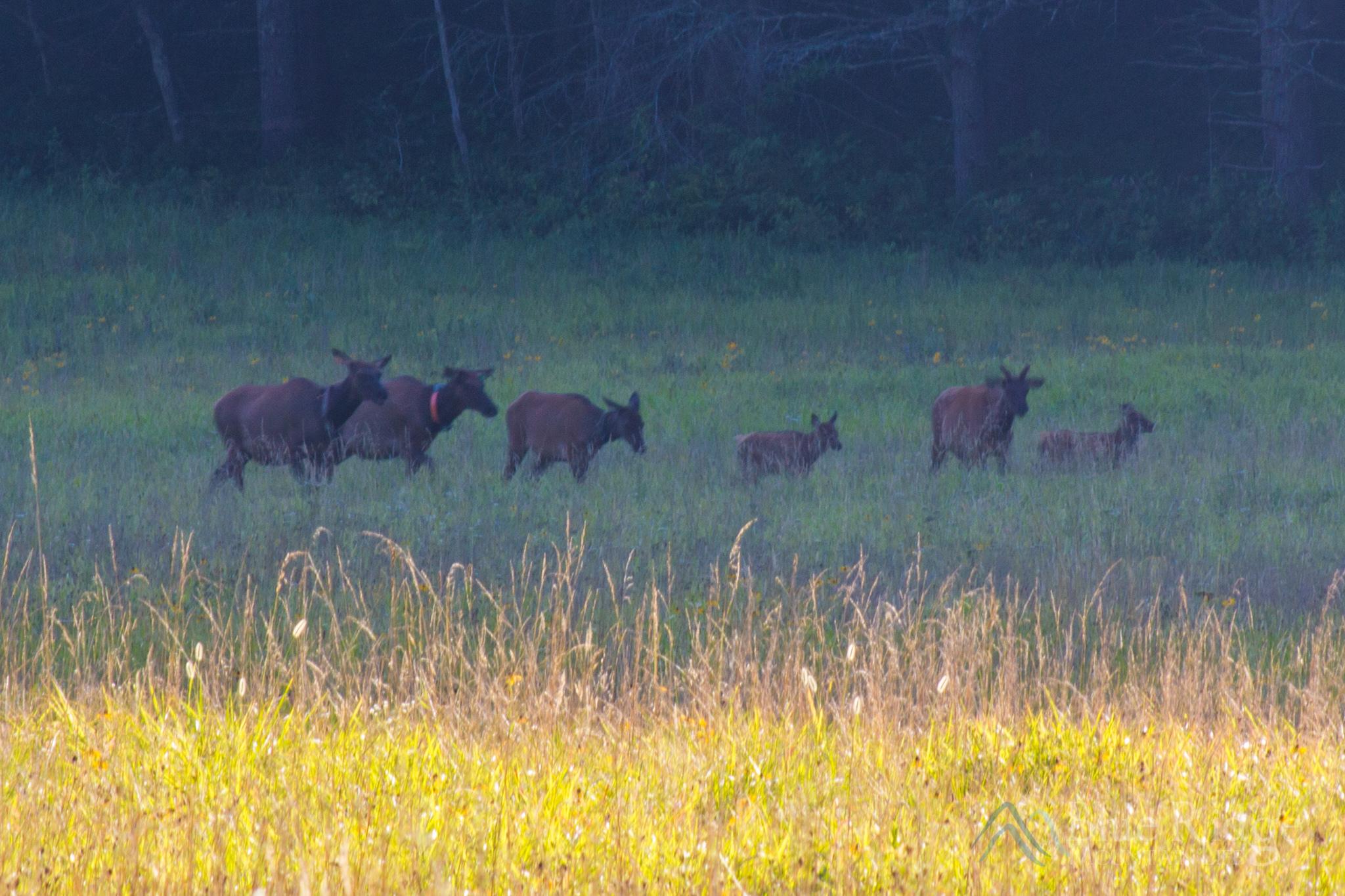 Elk in Cataloochee Valley