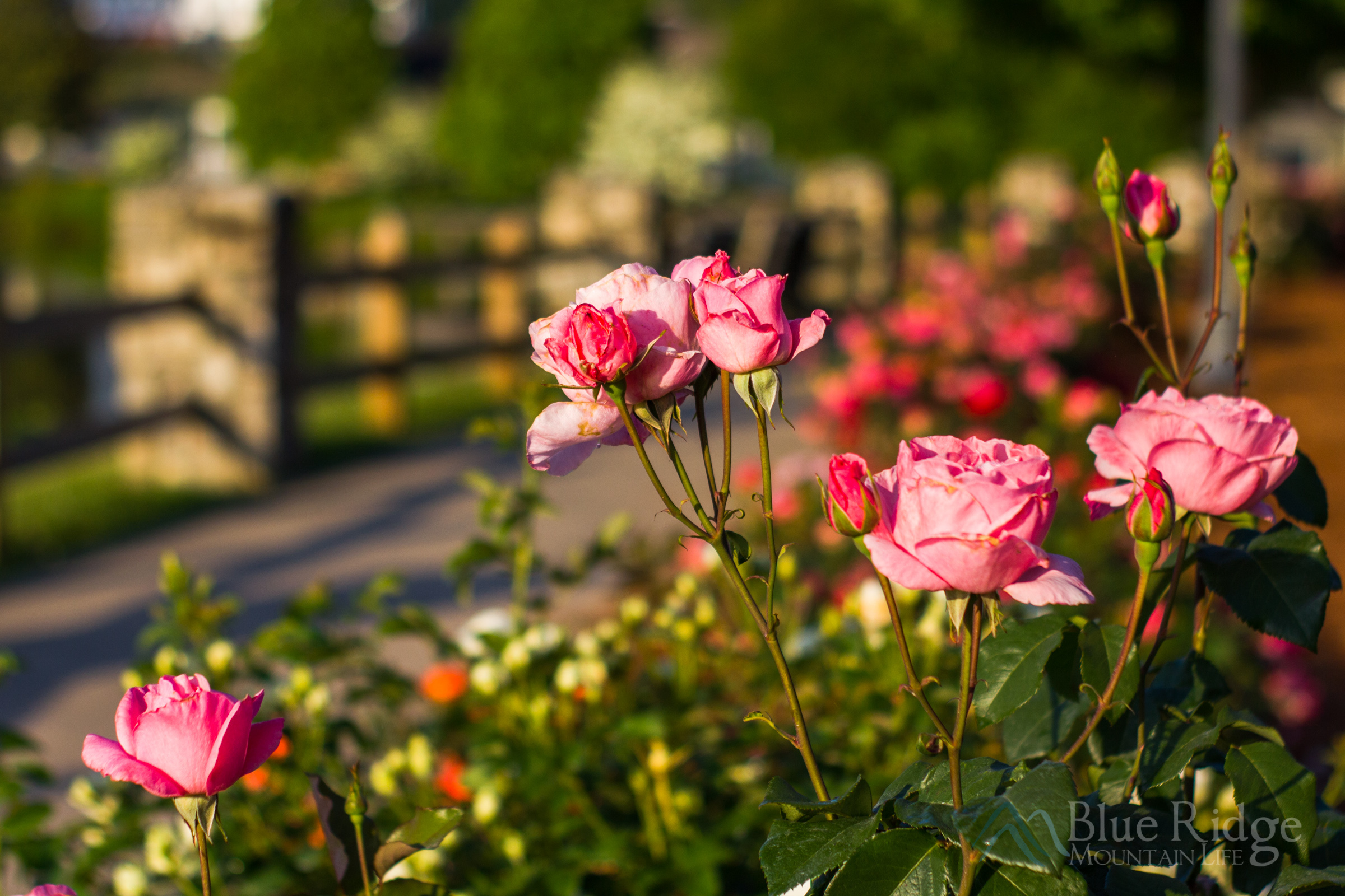 Lake Junaluska Rose Walk