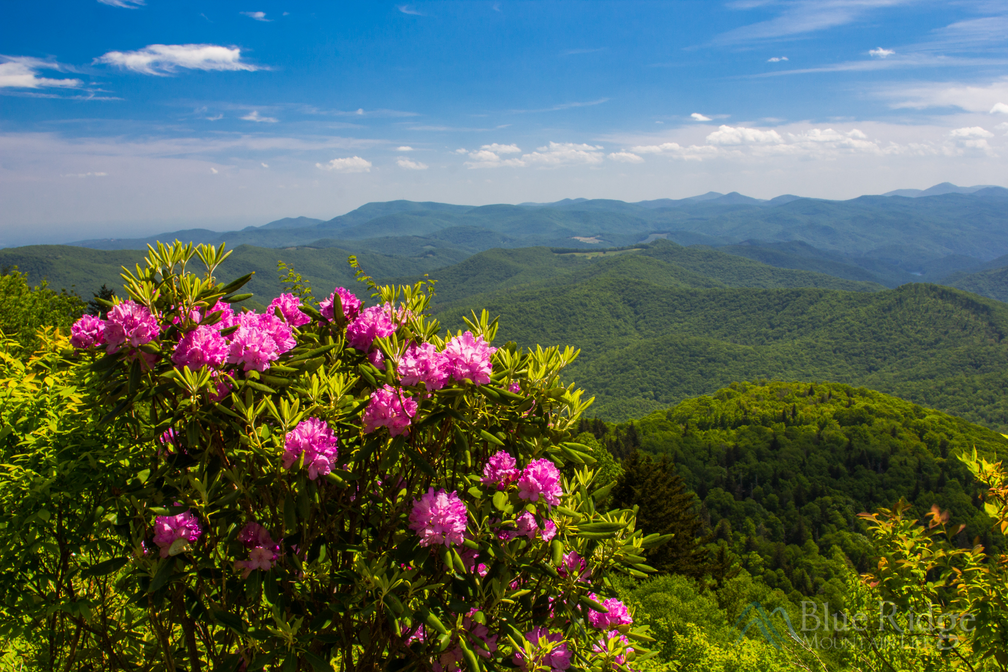 Rhododendron on the Blue Ridge Parkway