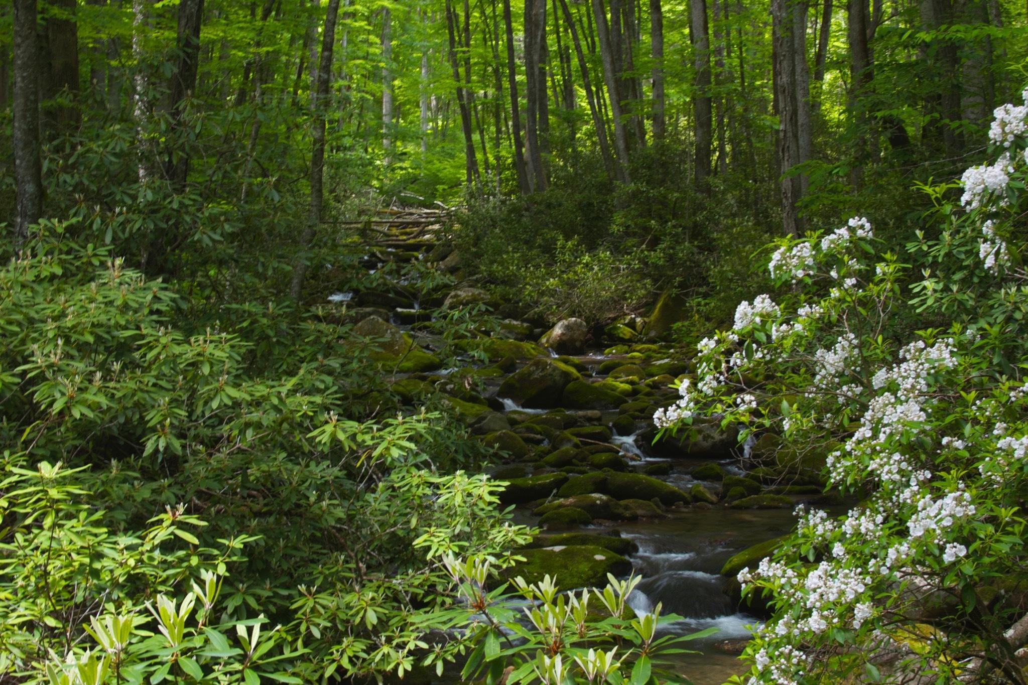 Kephart Prong Trail - Mountain Laurel