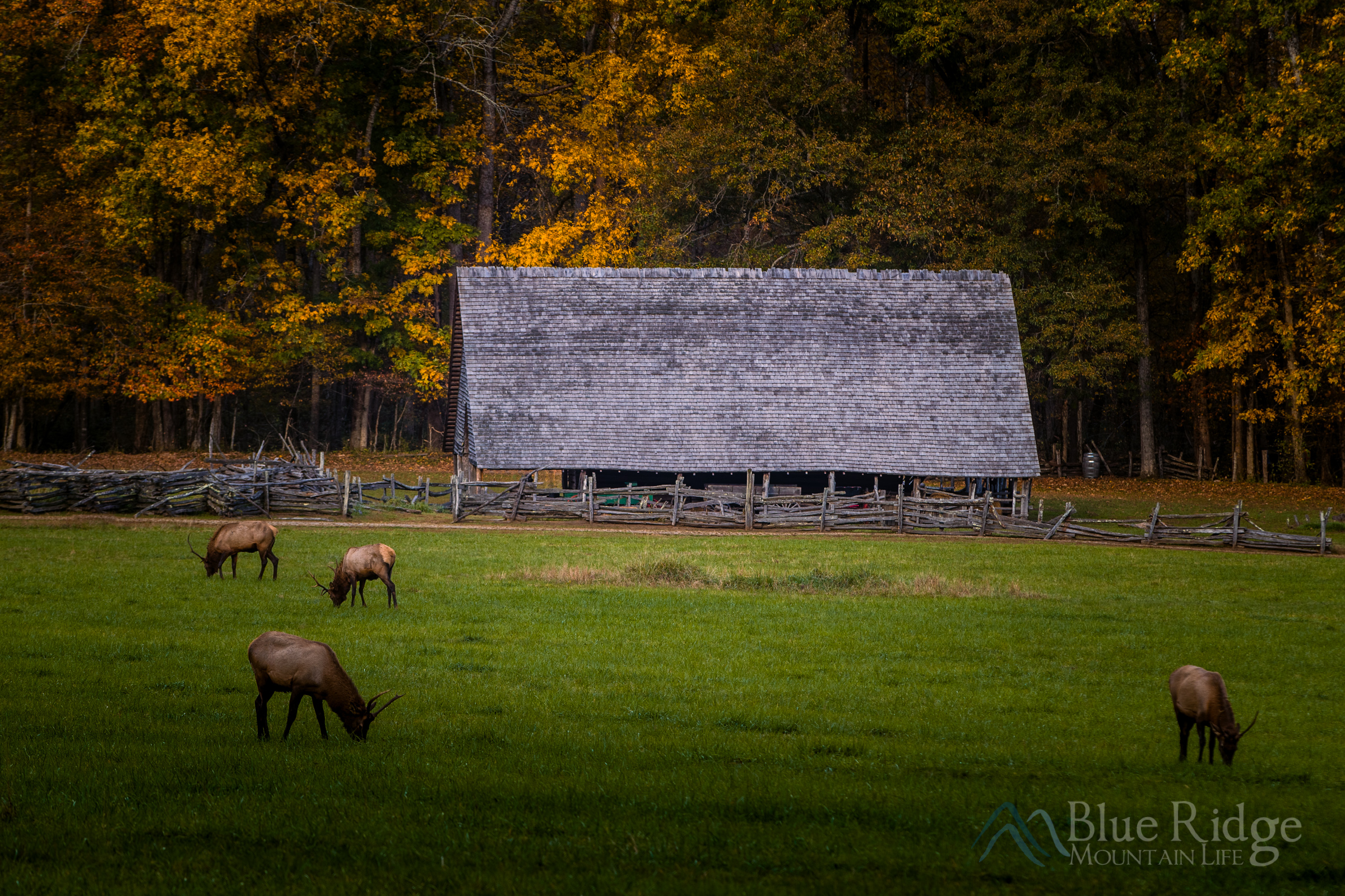Oconoluftee Visitor Center Elk